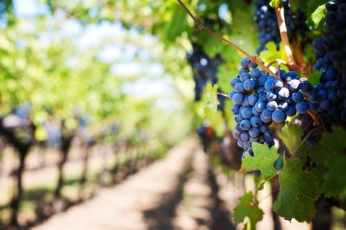 purple-grapes-vineyard-napa-valley-napa-vineyard-39511